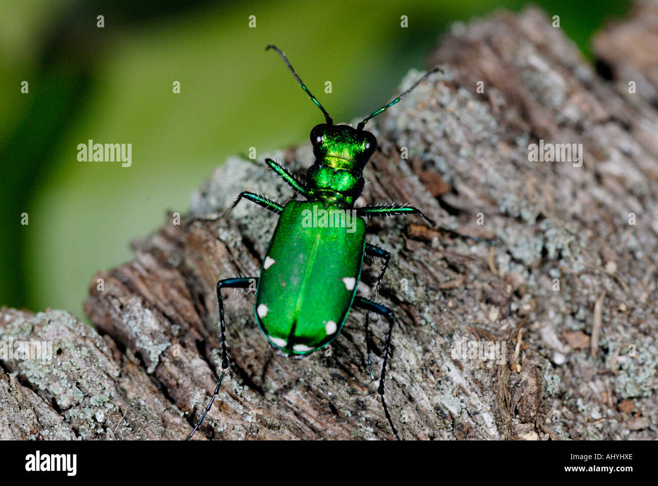 Verde 'Tiger Beetle', la cicindela sexguttata, sul log Immagini Stock