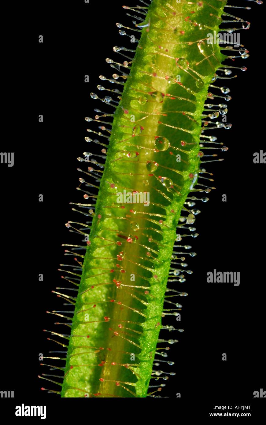 Sundew, Drosera sp, pianta carnivora con mucose appiccicoso coperto i peli per intrappolare insetti Immagini Stock