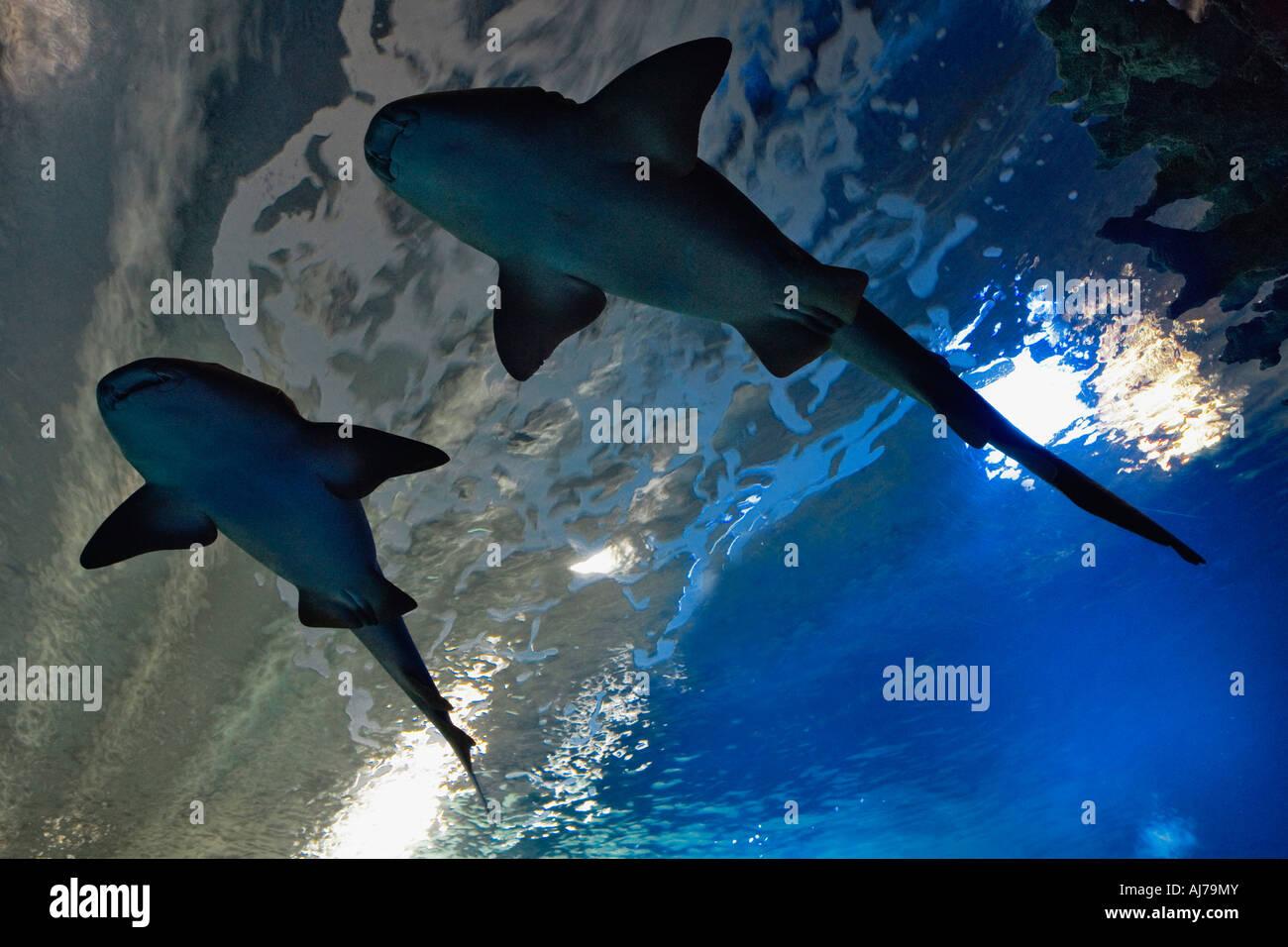 Il tunnel sottomarino permette ai visitatori di visualizzare gli squali vicino fino al Newport Aquarium. Newport Immagini Stock