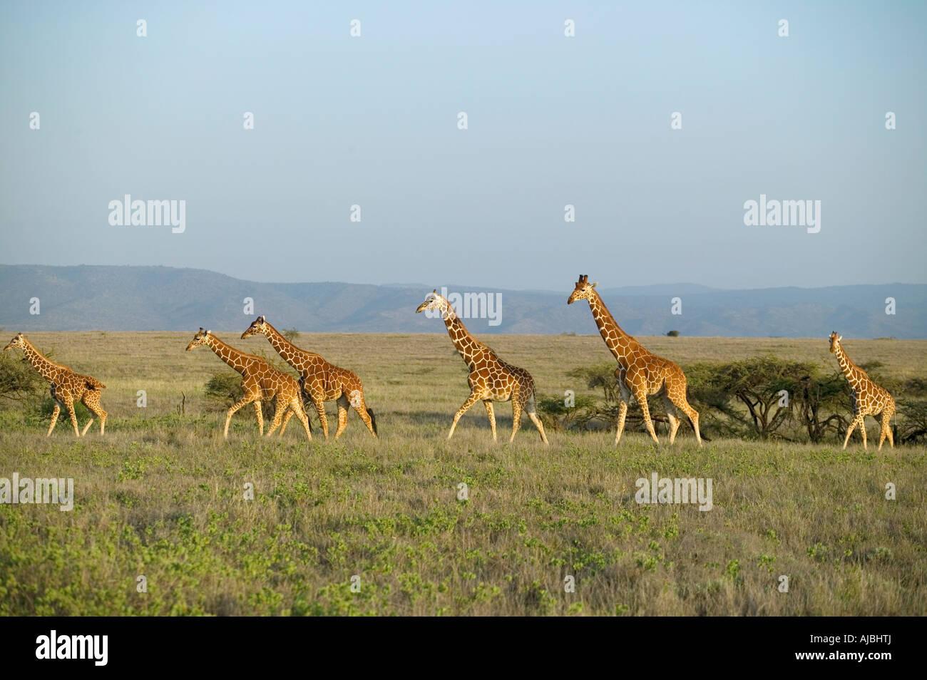 Giraffe reticolate (Giraffa camelopardalis reticulata) Allevamento in una piana aperta Immagini Stock