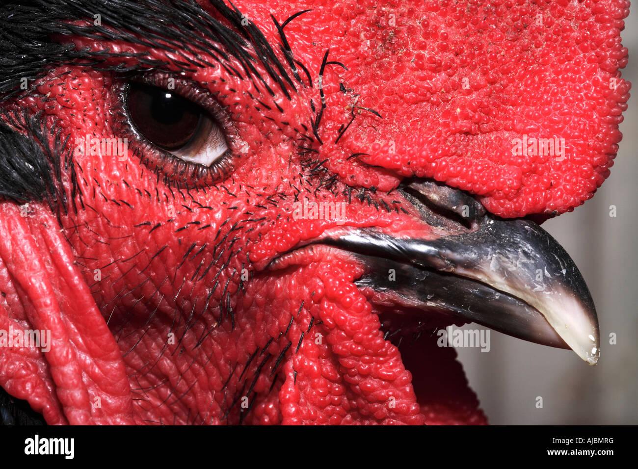 Extreme Close-up della testa di un gallo (Gallus gallus domesticus) Immagini Stock