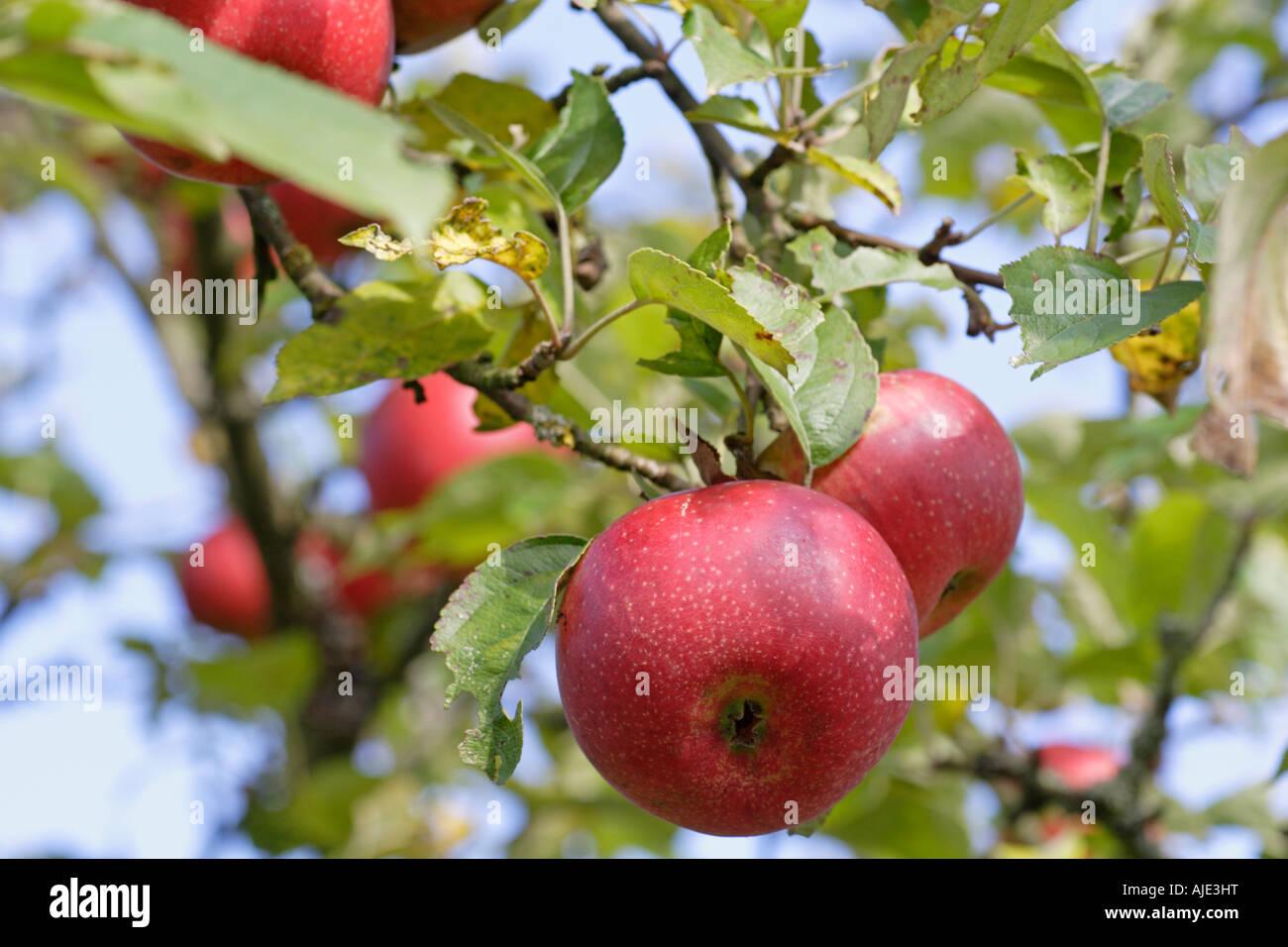 Albero di mele sono queste mele biologiche Immagini Stock