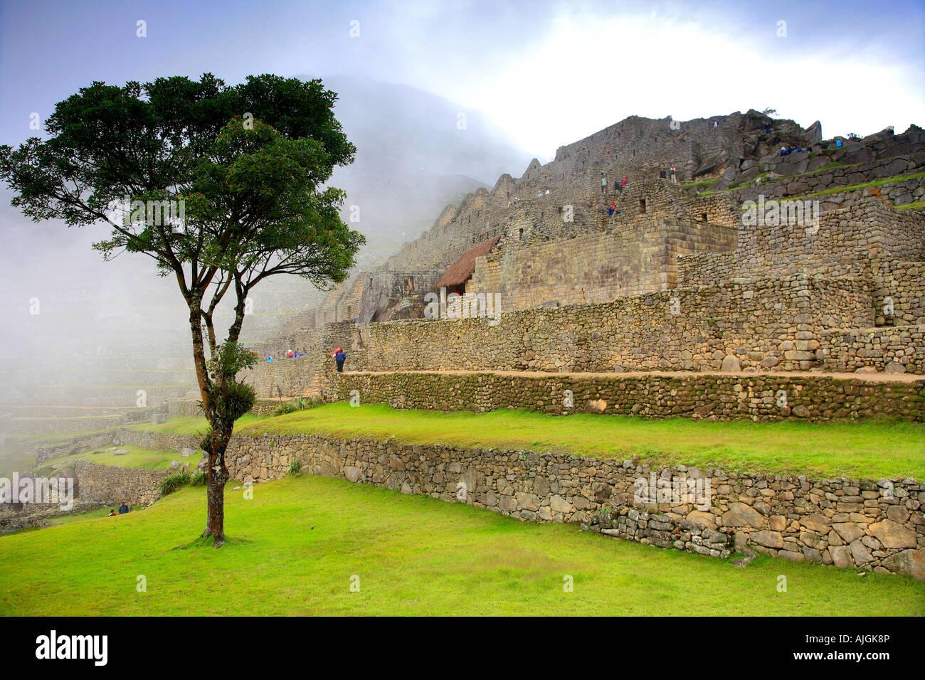 Albero nella nebbia mattutina del settore urbano del sito Patrimonio Mondiale dell'UNESCO Machu Picchu Perù Immagini Stock