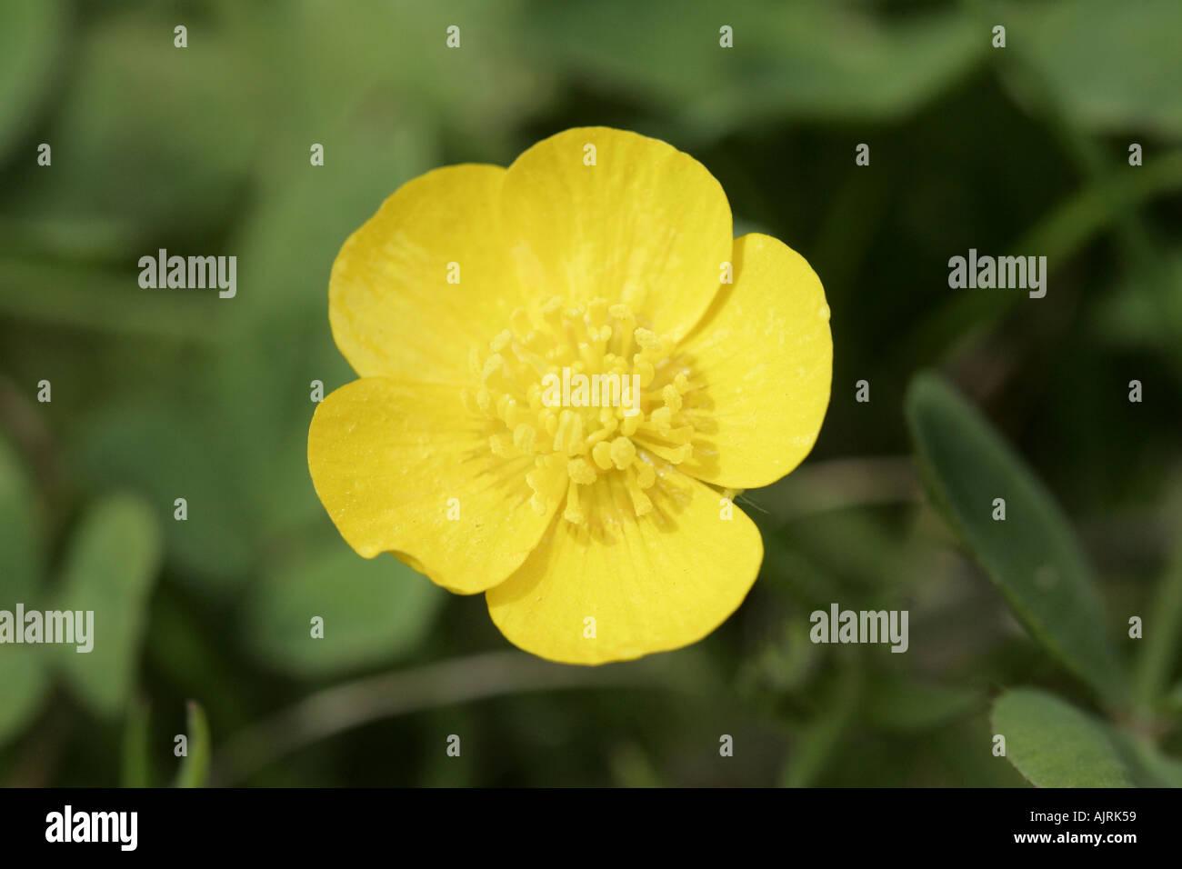 Fiori Gialli Irlanda.Ranunculaceae Ranuncolo Fiore Giallo Testa Contea Di Down Irlanda