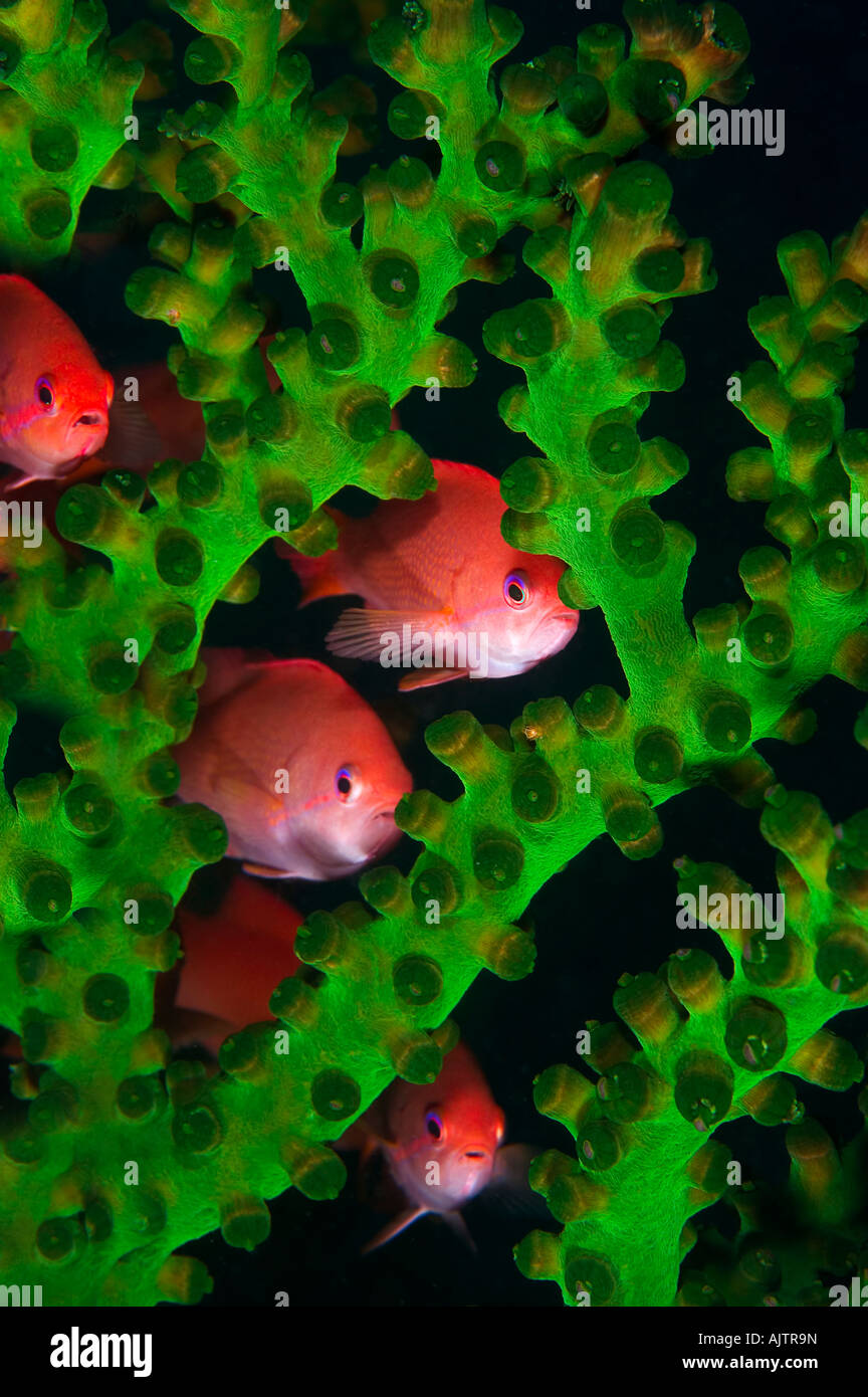 Gioiello fairy basslet lyretail anthias nascondere in corallo Pseudanthias squamipinnis Komodo Flores Mare Indonesia Immagini Stock