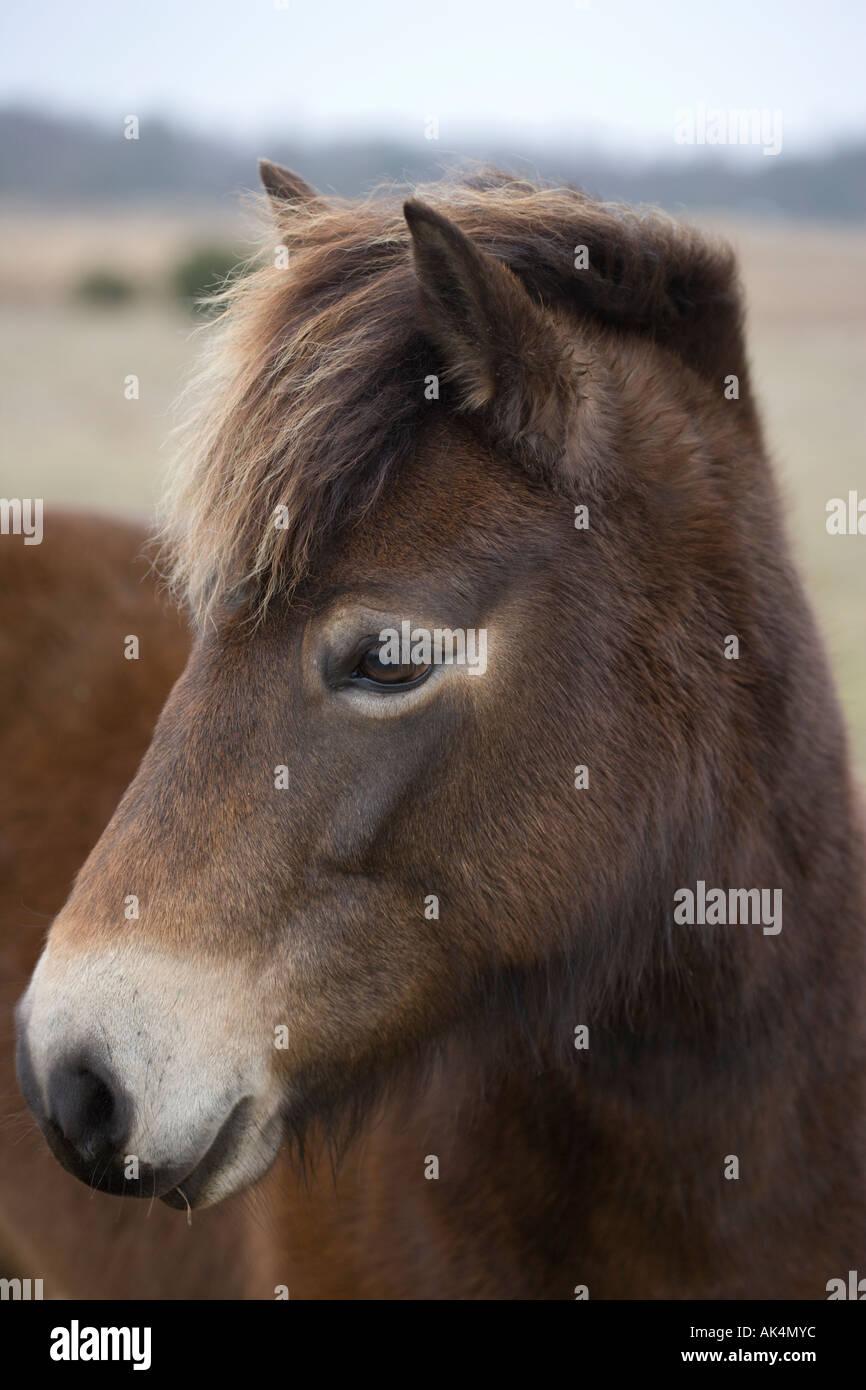 Exmoor pony. Greenham Common. Berkshire. In Inghilterra. Immagini Stock