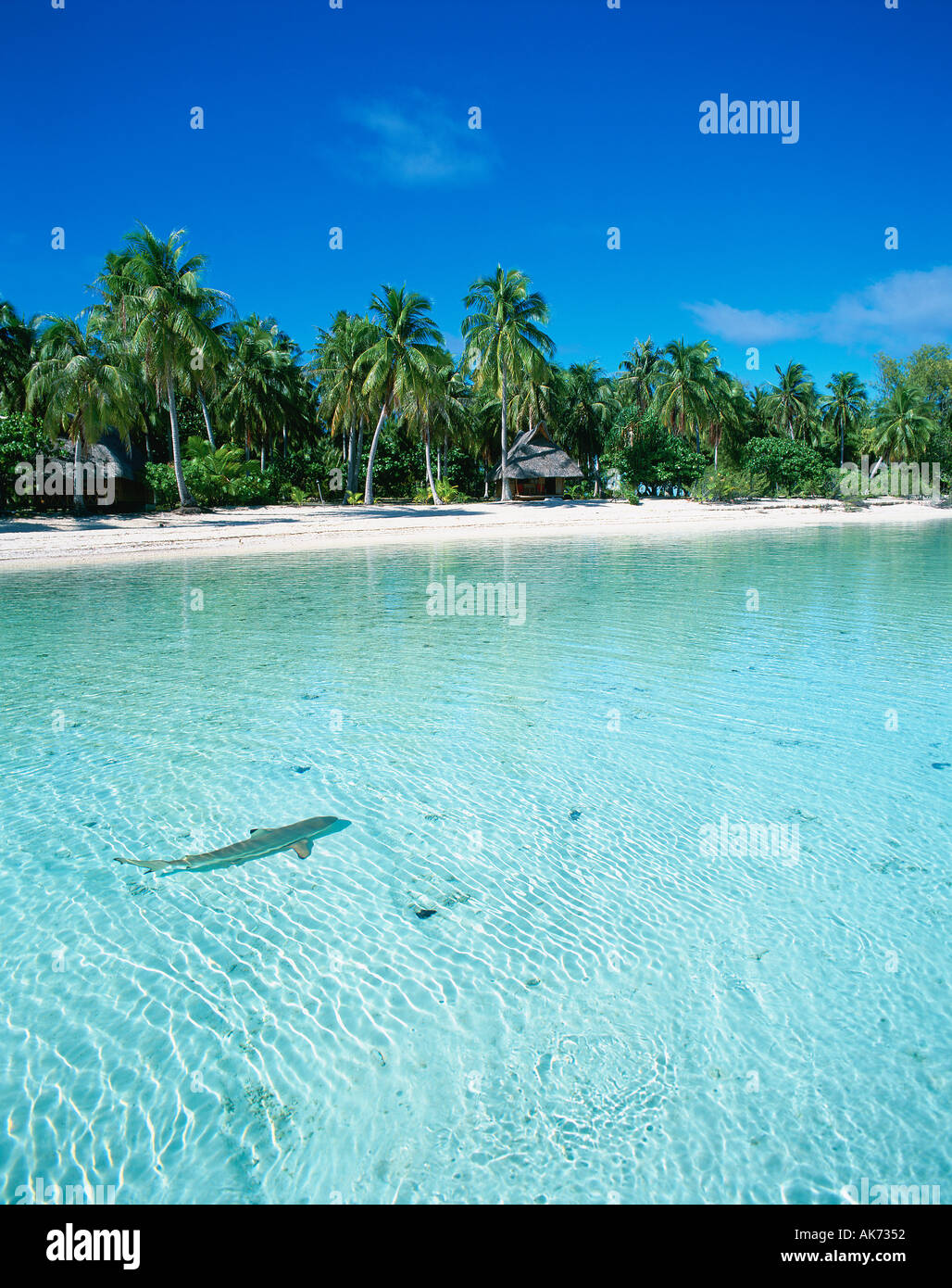 Shark Kia Ora Sauvage Rangiroa Polinesia Francese Immagini Stock