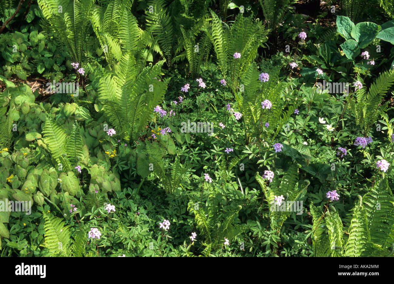Piante Da Giardino Ombroso ombroso bosco piante da giardino matteuccia felce penna