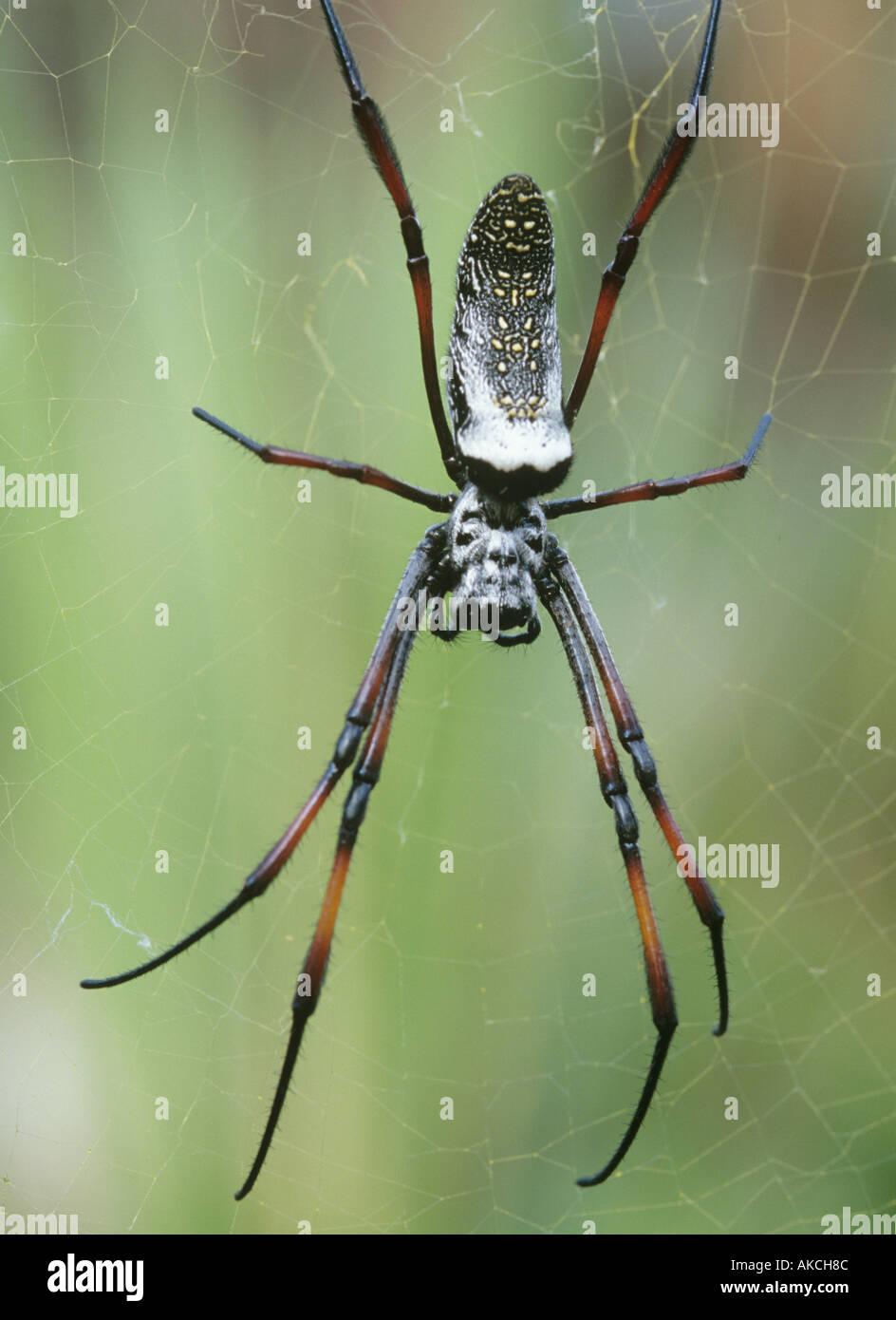 Orb spider web Nephila madagascariensis Foto Stock