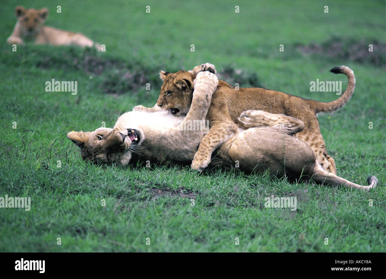Sei settimane vecchio LION CUB giocando sulla parte superiore di quasi completamente cresciuti lion Masai Mara riserva nazionale del Kenya Africa orientale Immagini Stock