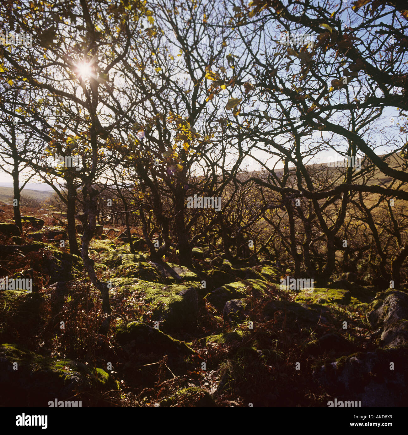 Twisted recedono antiche querce noto come legno Wistmans stand in una parte remota di Dartmoor a nord di due ponti Immagini Stock