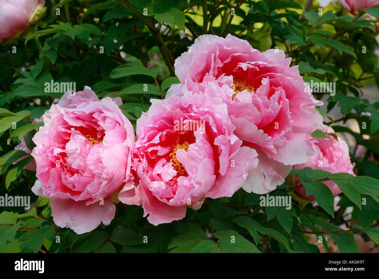Paeonia suffruticosa 'Ying Luo Bao Zhu' Immagini Stock