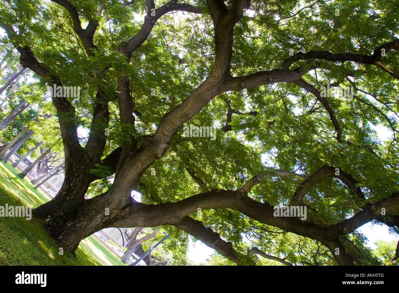 Monkey Pod Tree ha anche chiamato albero di pioggia o ohai su Oahu Hawaii - nome latino è Samanea Saman Immagini Stock