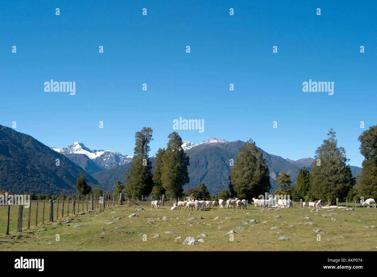 Pecore fattoria vicino ghiacciaio Fox, Isola del Sud, Nuova Zelanda Immagini Stock