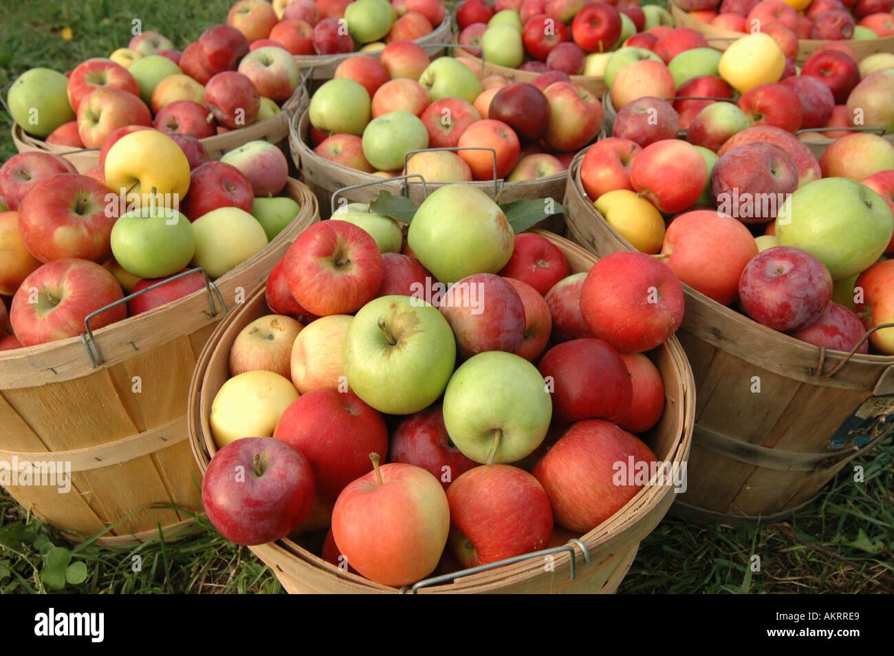 Le mele non sottoposte a cernita in cestelli Immagini Stock