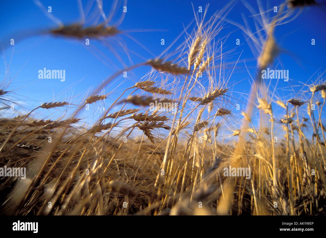 Campo di grano nella valle del Fiume Rosso del Minnesota Immagini Stock