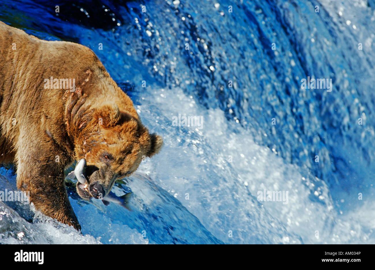 L'orso bruno (Ursus arctos) La cattura del salmone che è il salto di una cascata, Katmai N.P., Alaska Immagini Stock