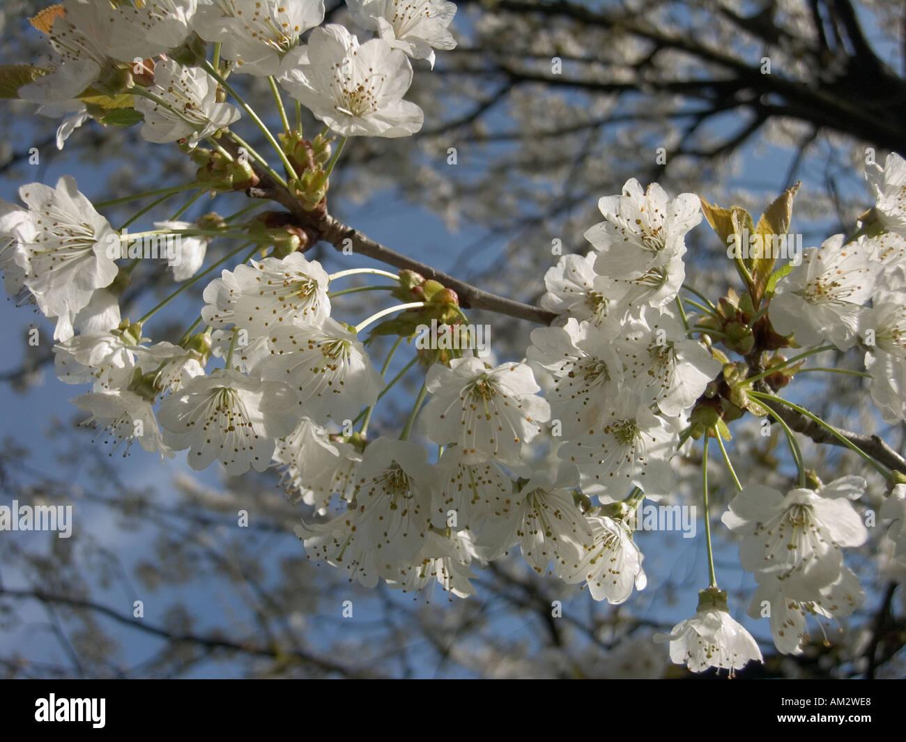 Fiori Bianchi Frutto.Toscana Settentrionale Italia Primavera Fiori Bianchi In Albero Da