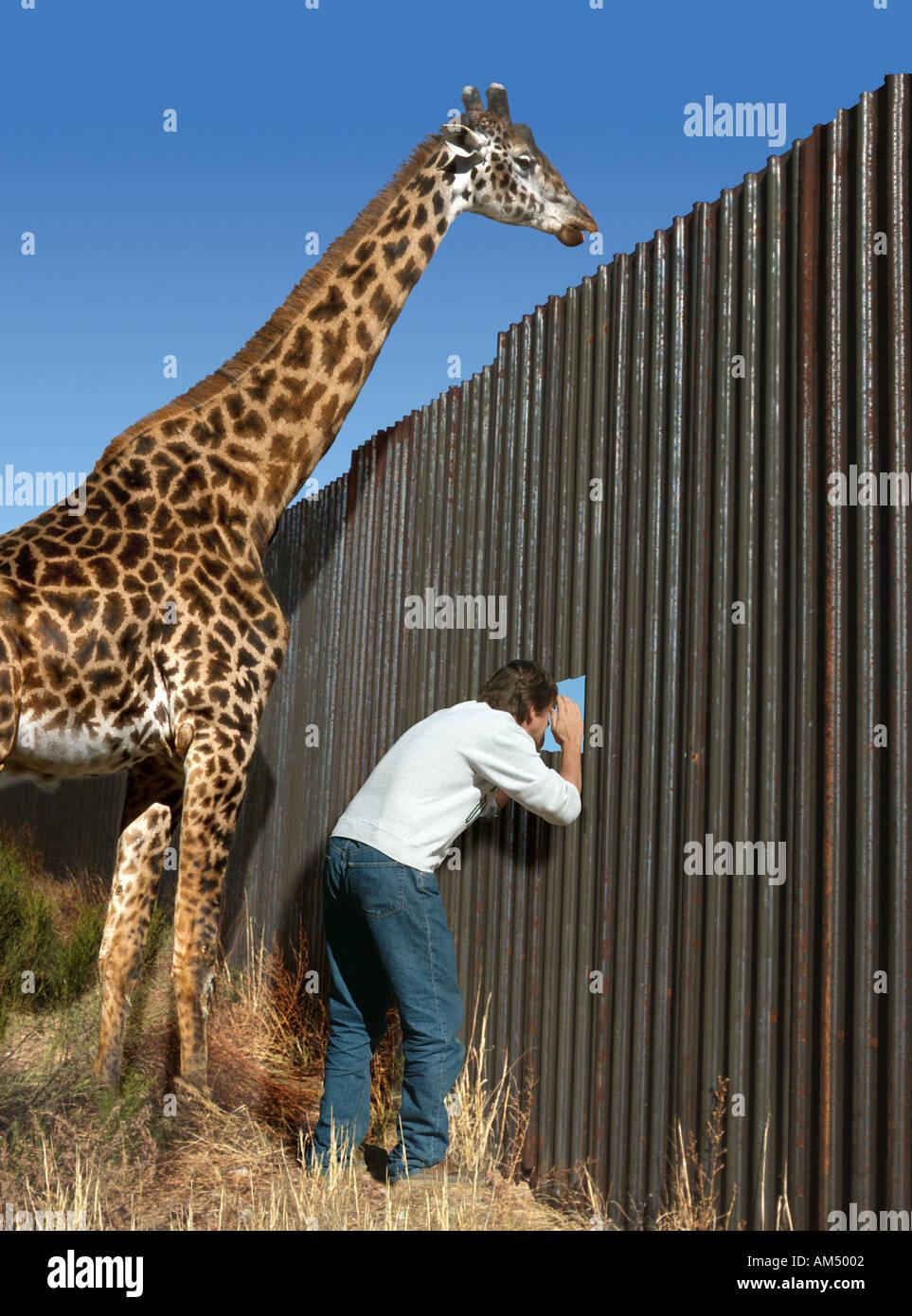 L'uomo coetanei attraverso un foro in un recinto e la giraffa coetanei su di esso Immagini Stock