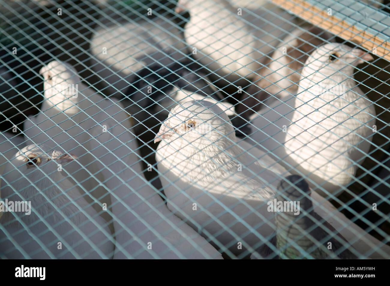 Colombe bianche in una gabbia prima di un rilascio 1 Dicembre 2007 Immagini Stock