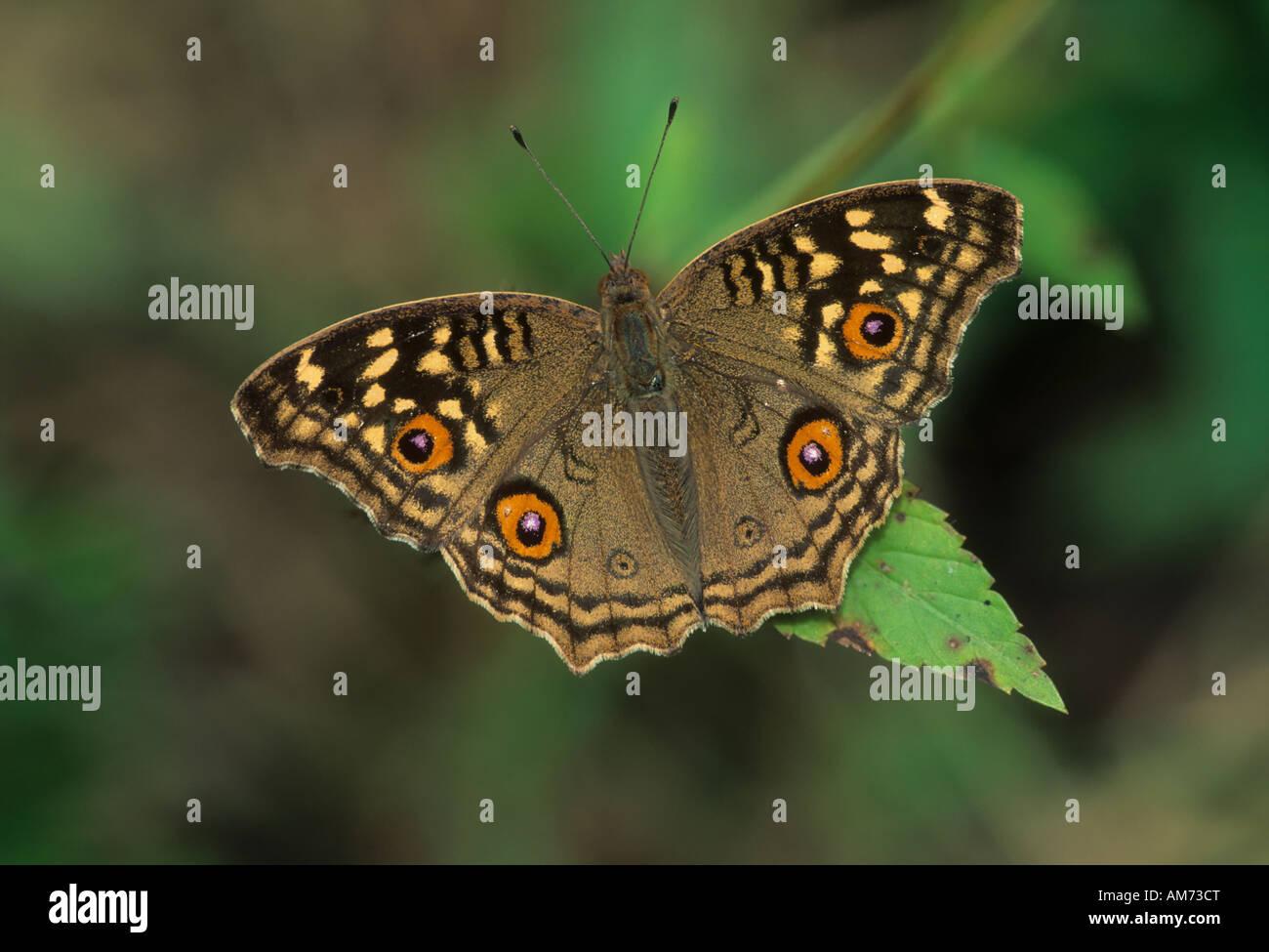 Indian farfalla pavone (Inachis) Keoladeo Ghana, Baratpur, India Immagini Stock