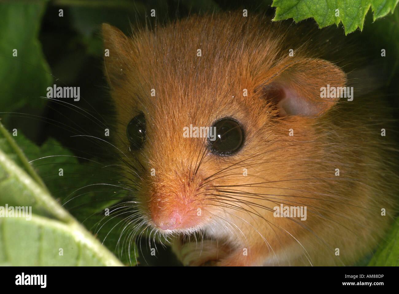 Hazel ghiro (Muscardinus avellanarius) Foto Stock