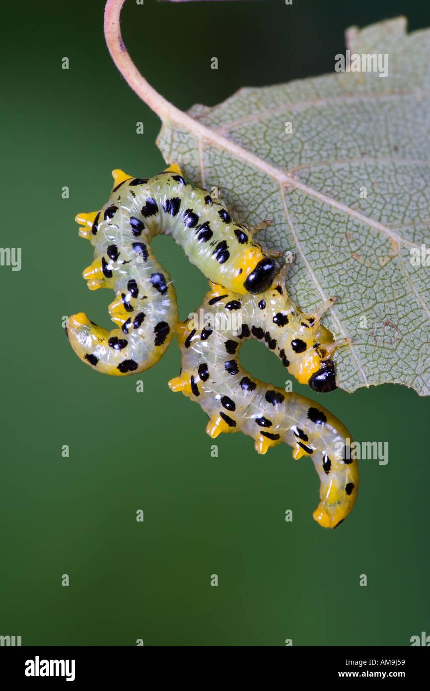 Dusky Birch Sawfly Creso latitarsus formatura forma di Nizza sull'argento Betulla foglie con bello sfondo disinnescare potton bedfordshire Immagini Stock