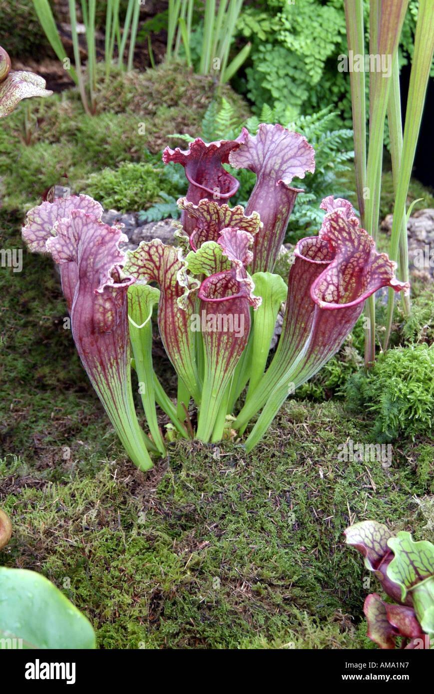 Sarracenia purpurea pianta brocca nord americaTropical insetto fiore insettivori mangiare mangiare esotico carnivore carnivore Foto Stock