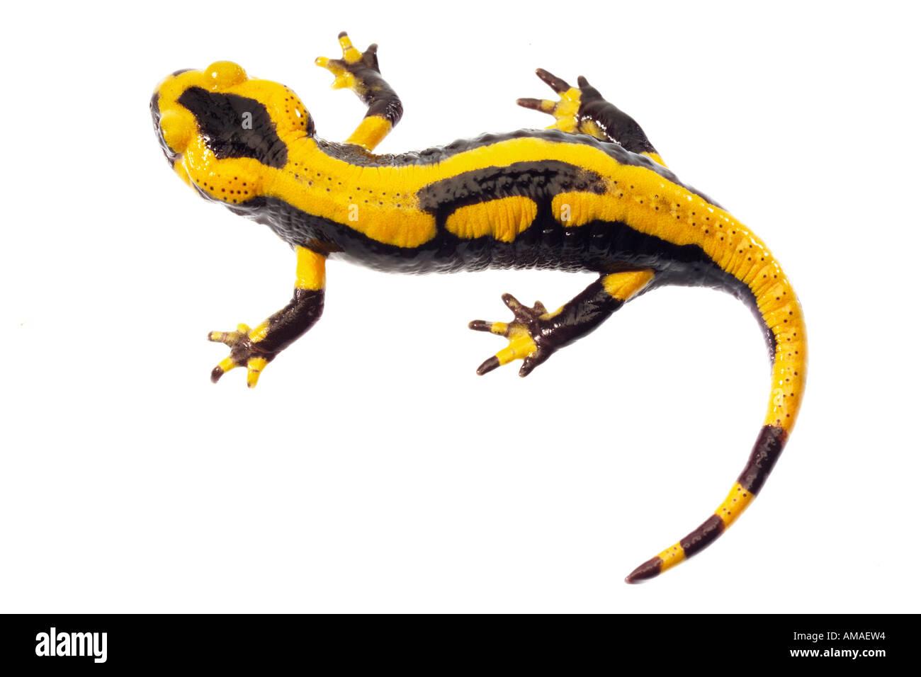 Salamandra pezzata Immagini Stock