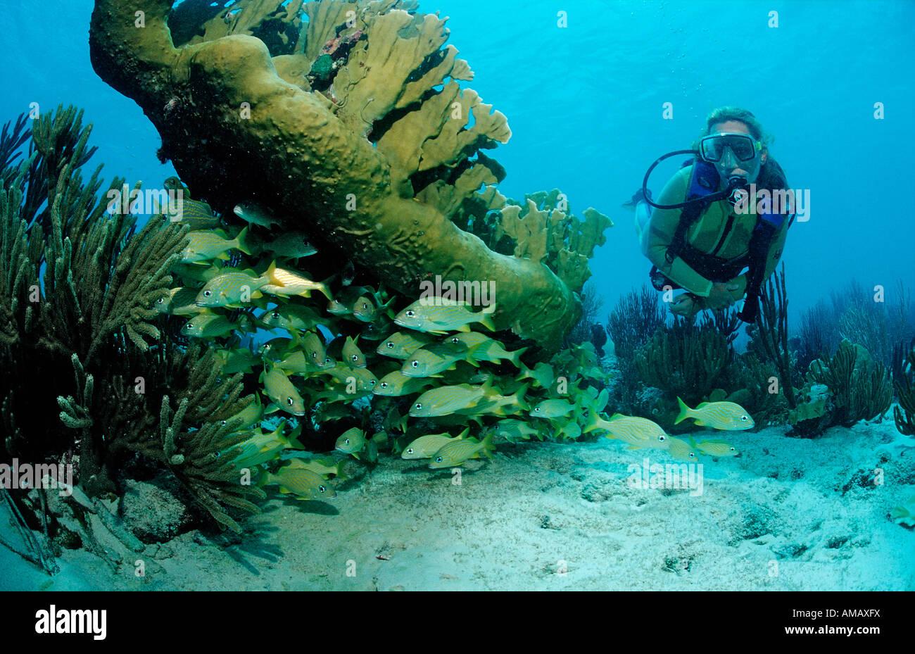 Scuba Diver e grunt francese Haemulon flavolinatum Antille Olandesi Bonaire Mar dei Caraibi Immagini Stock