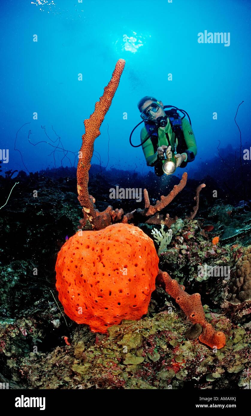 Scuba Diver e Orange a orecchio di elefante spugna Agelas clathrodes Dominica French West Indies Mar dei Caraibi Immagini Stock