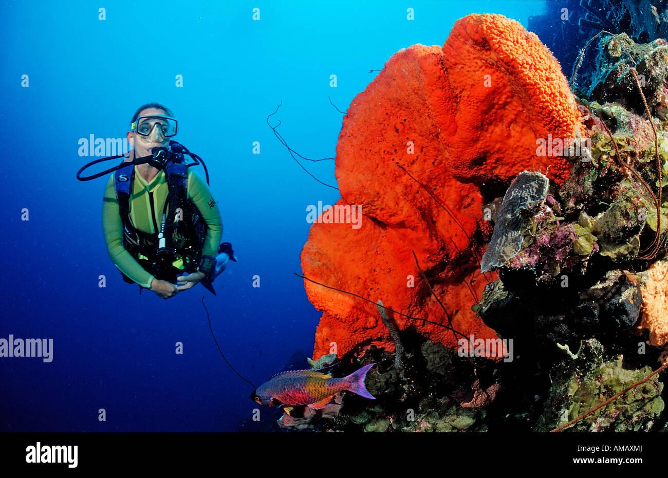 Scuba Diver e Orange a orecchio di elefante spugna Agelas clathrodes Martinica Antille Francesi Mar dei Caraibi Immagini Stock