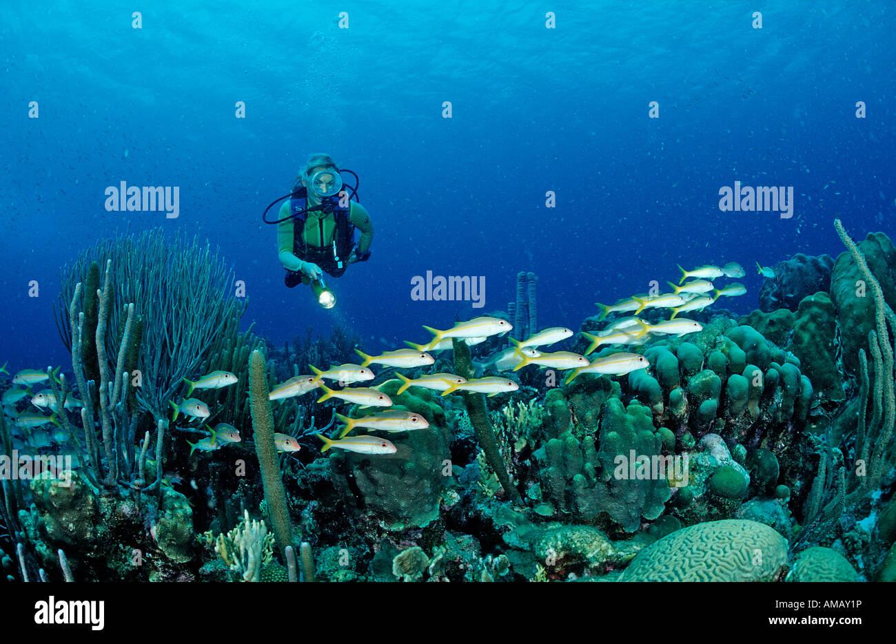 Scuba Diver e giallo Goatfishes Mulloidichthys martinicus Antille Olandesi Bonaire Mar dei Caraibi Immagini Stock