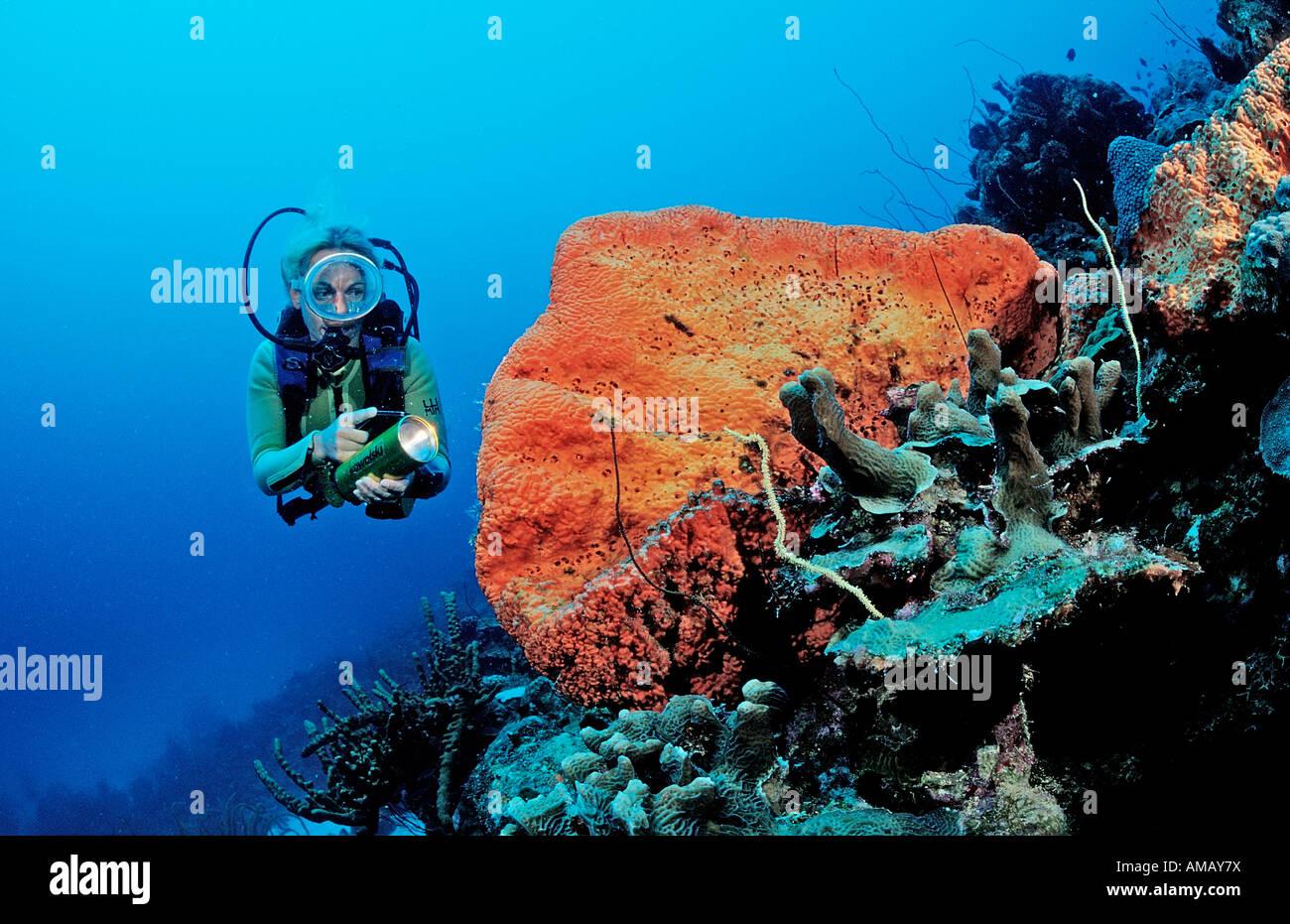 Scuba Diver e Orange a orecchio di elefante spugna Agelas clathrodes Antille Olandesi Bonaire Mar dei Caraibi Immagini Stock