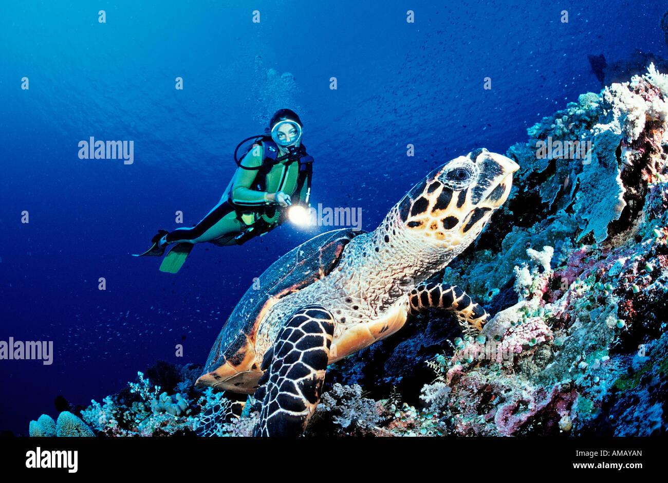 Subacqueo e Hawksbill SEA TURTLE Eretmochelys imbricata Malesia Layang Layang sul Mare della Cina del Sud Immagini Stock
