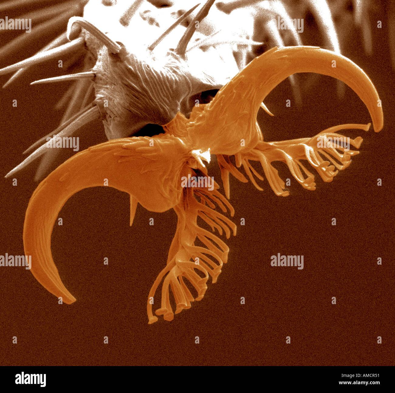 Una micrografia al microscopio elettronico a scansione di un piede di Drosophila tipo selvatico, ingrandite x975. Foto Stock