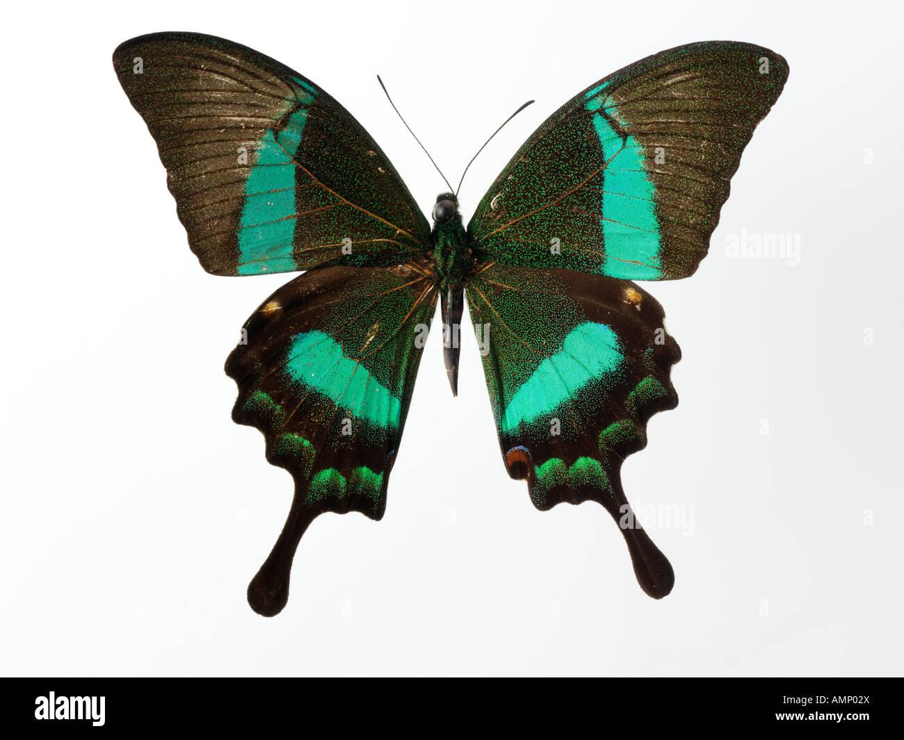Top Shot vista in pianta di una coda forcuta farfalla, aperto alato, contro uno sfondo bianco in un studio Immagini Stock