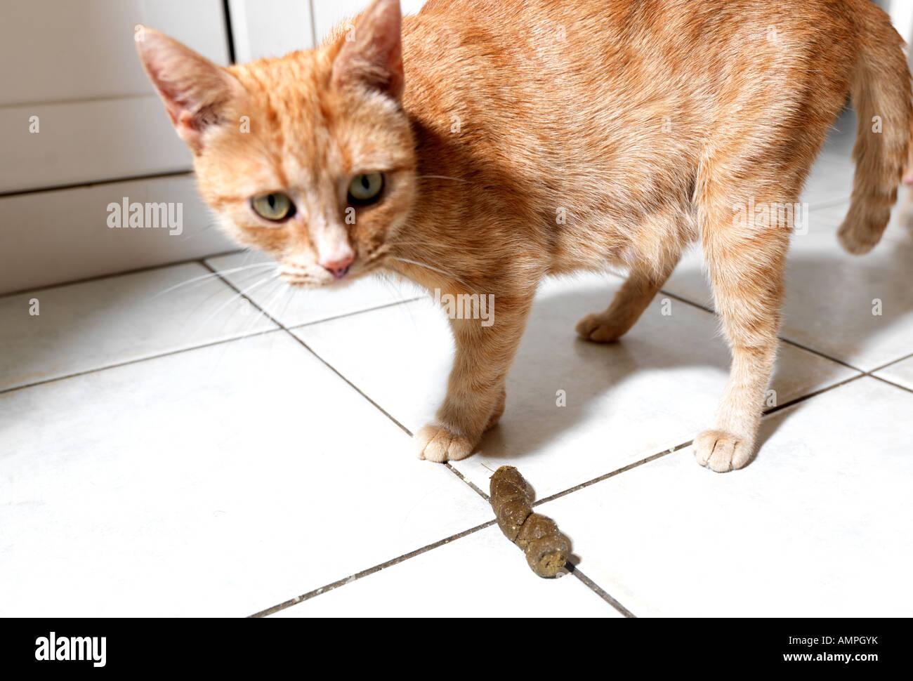 Cat imbarazzato dalla casa di imbrattamento Immagini Stock