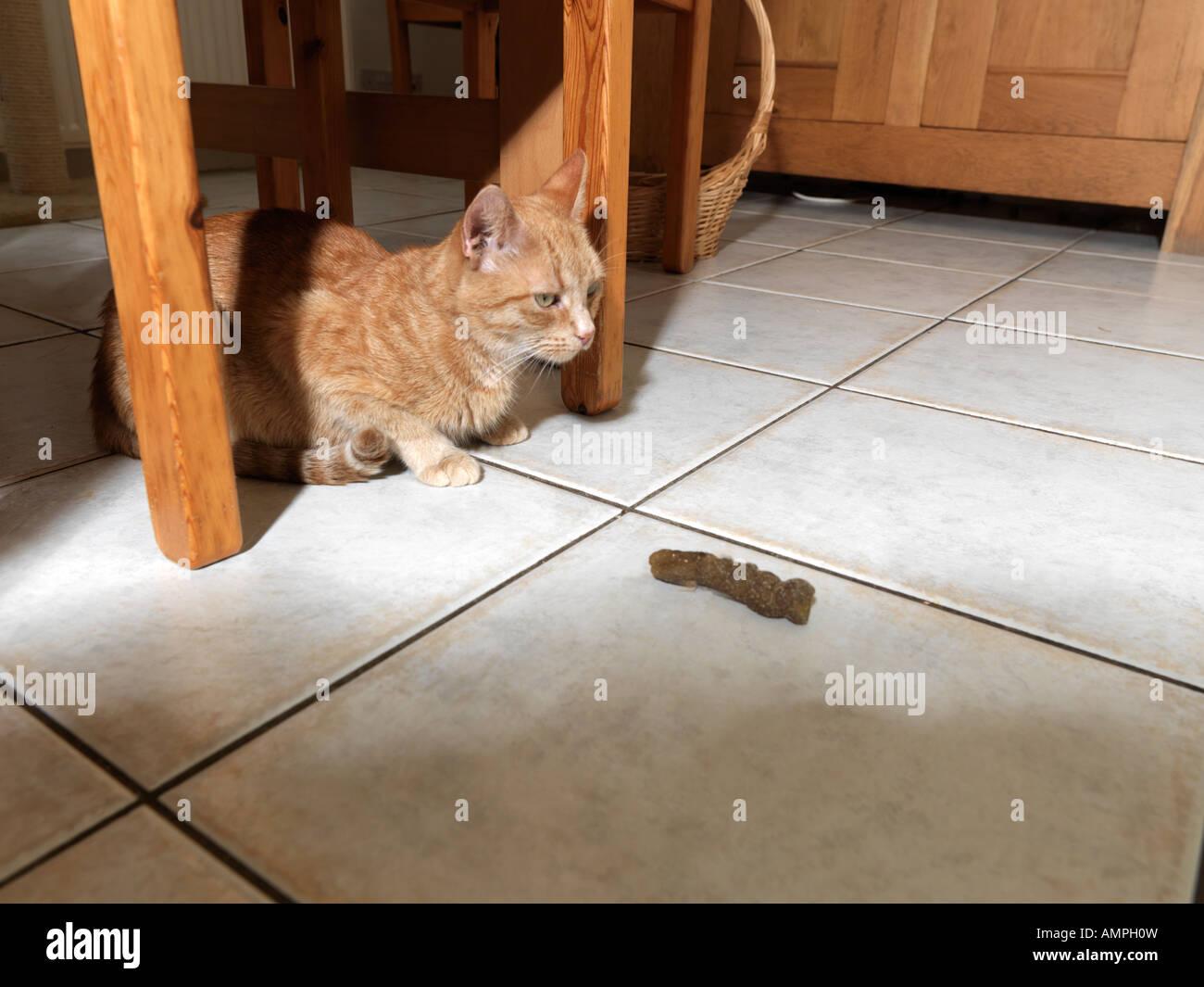 B 51088 Cat imbarazzato dalla casa di imbrattamento Immagini Stock