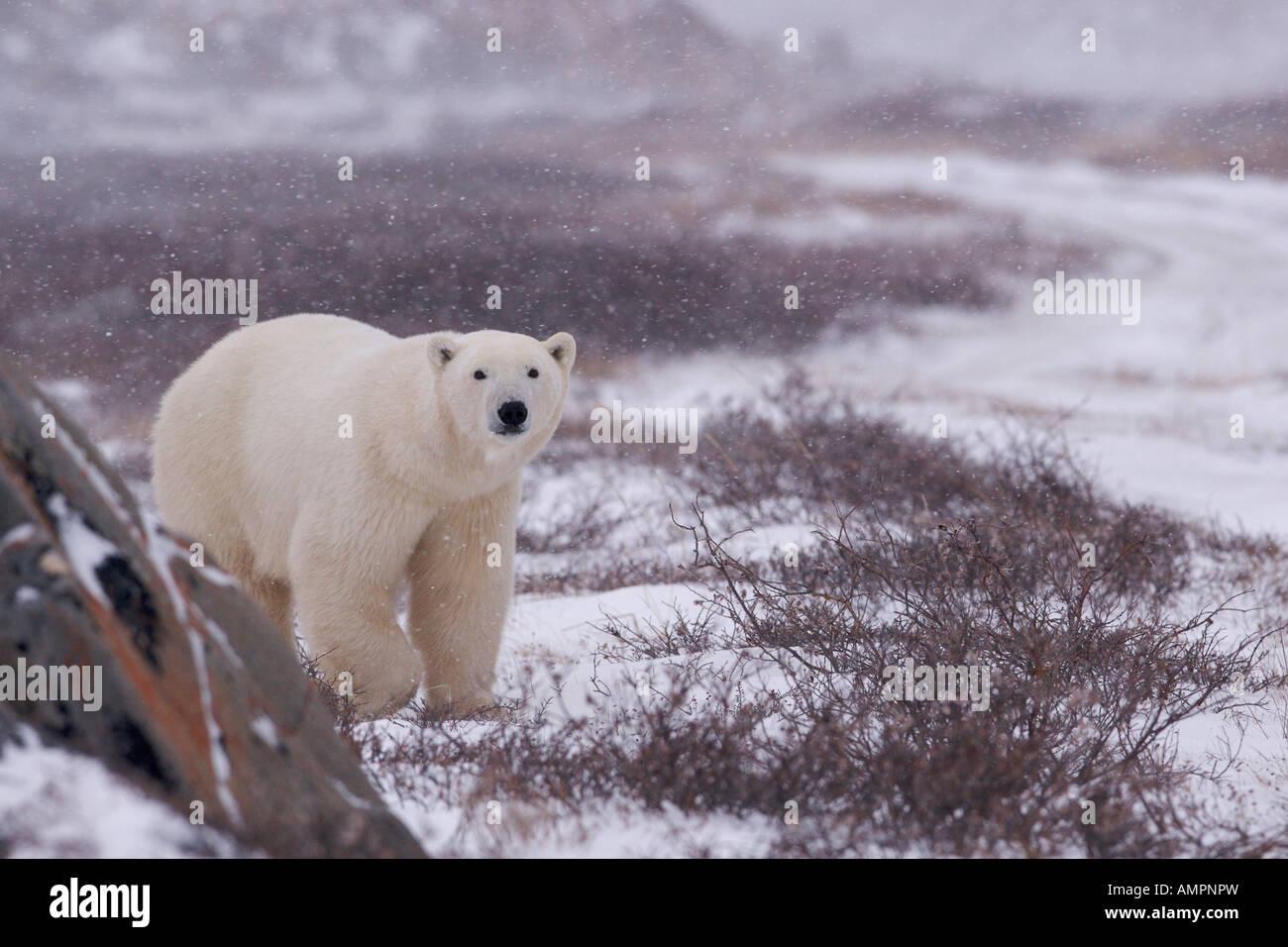 Orso polare, Ursus maritimus, passeggiate sulla tundra vicino alle rive della Baia di Hudson, Churchill, Manitoba, Immagini Stock