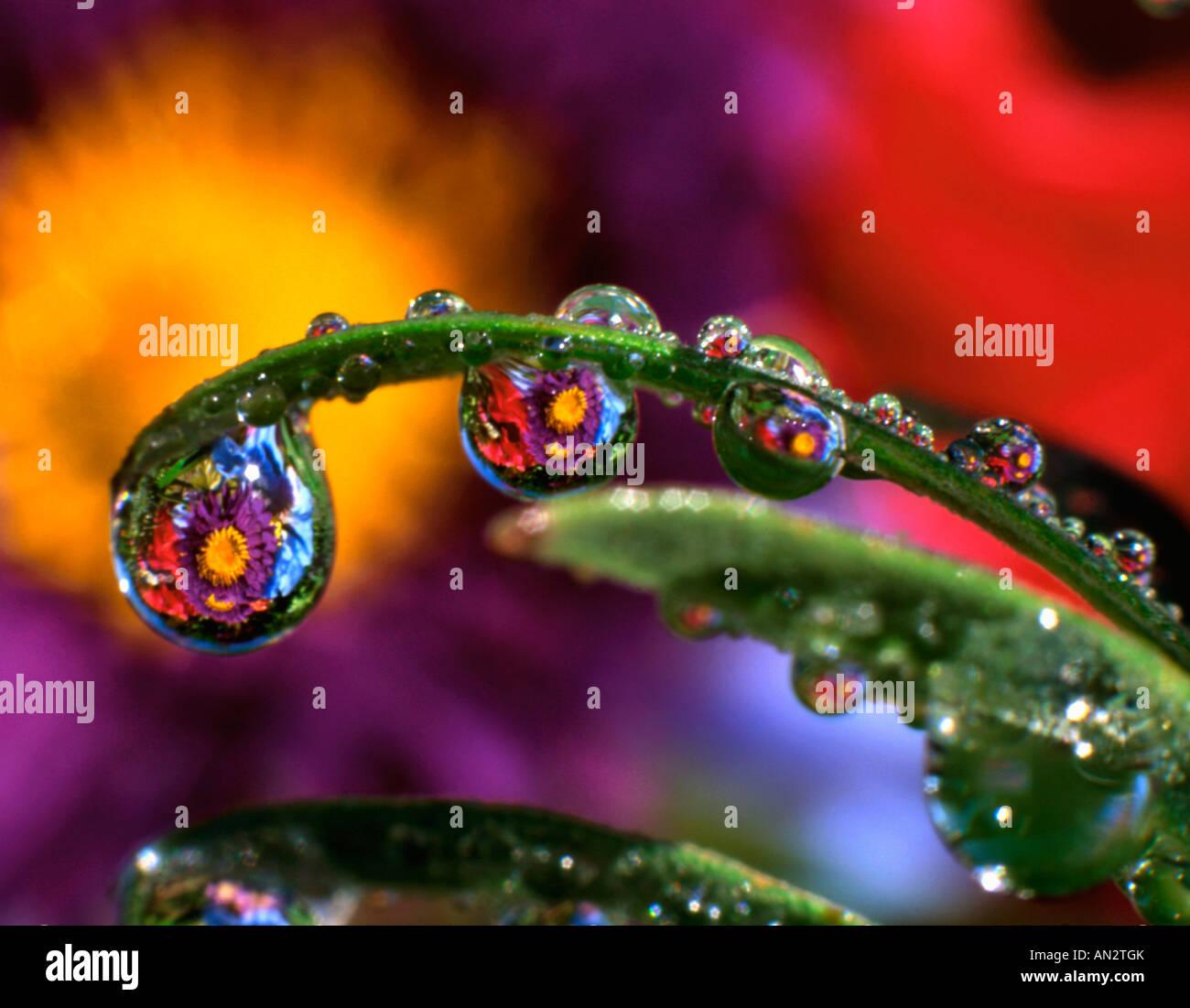 Stati Uniti d'America, Oregon, Close-up abstract del crisantemo viola riflettendo in gocce di rugiada. Foto Stock