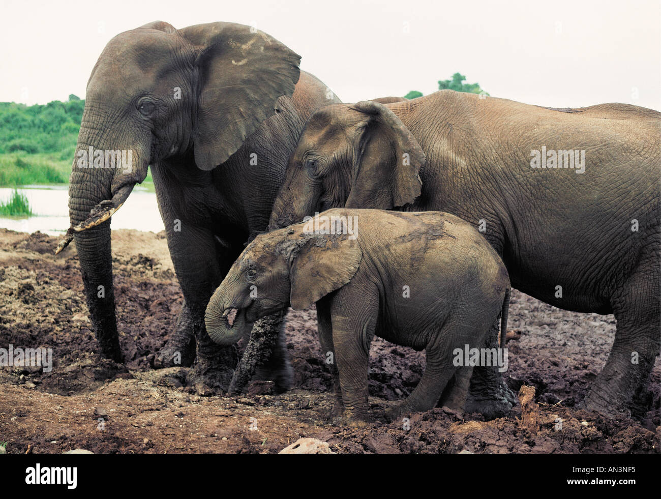 Femmina d'elefante e vitello all'arca Salt Lick Aberdares Parco Nazionale del Kenya Immagini Stock