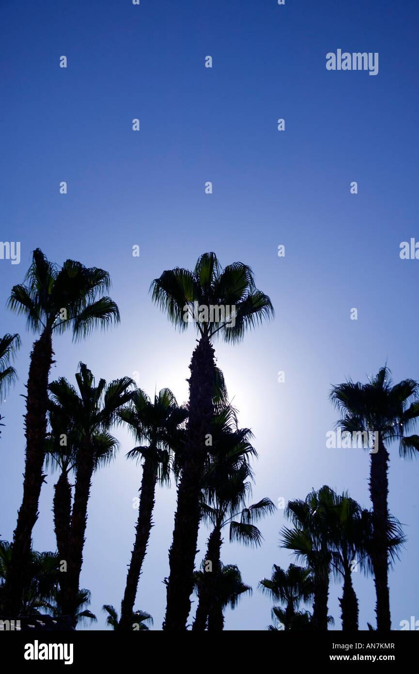 Cerca fino a un gruppo di palme con retroilluminazione di Sun in Palm Springs California USA Immagini Stock