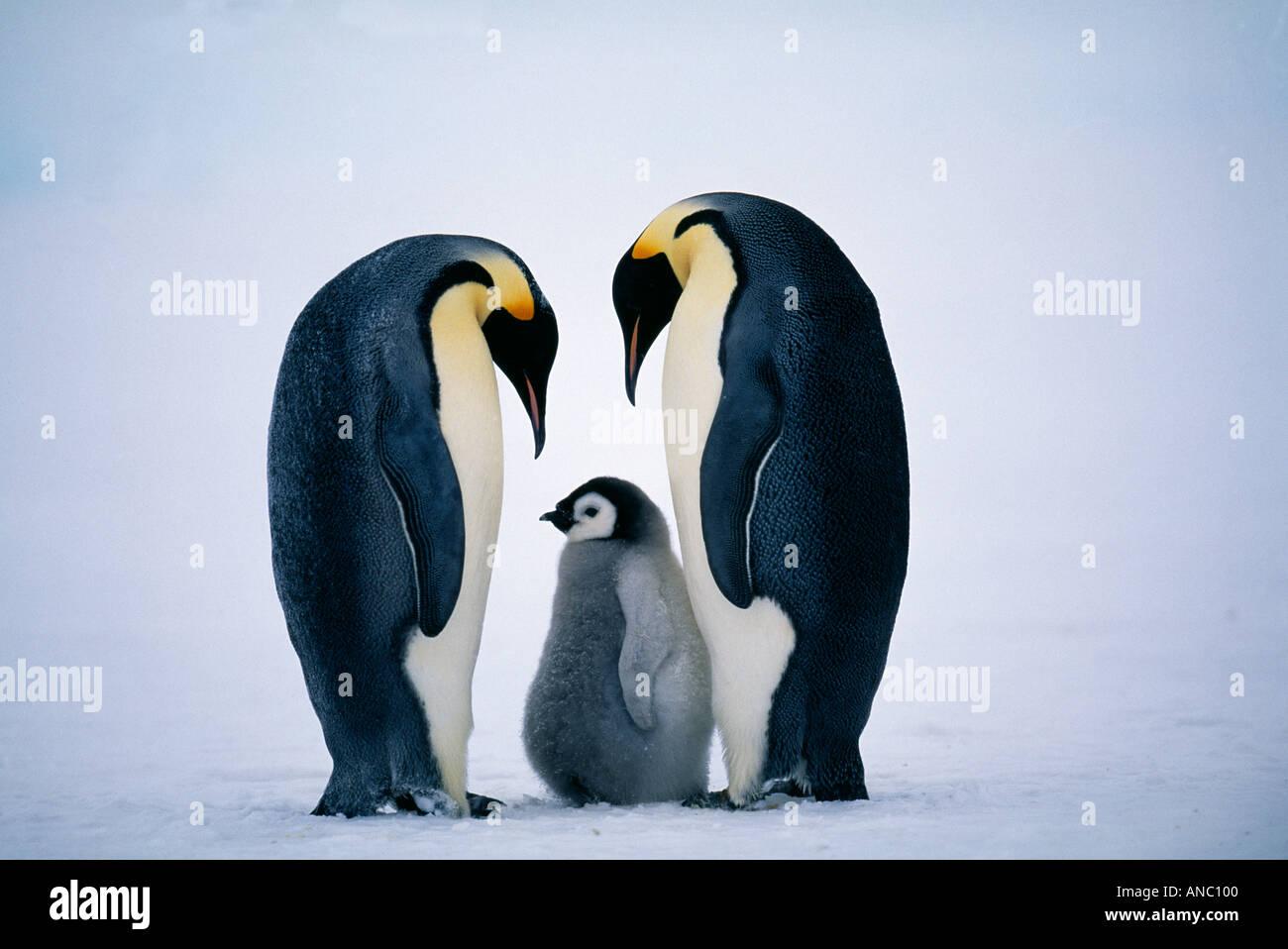 Pinguino imperatore Aptenodytes forsteri coppia con pulcino famiglia Dawson Lambton Glacier mare di Weddell Antartide di novembre Immagini Stock