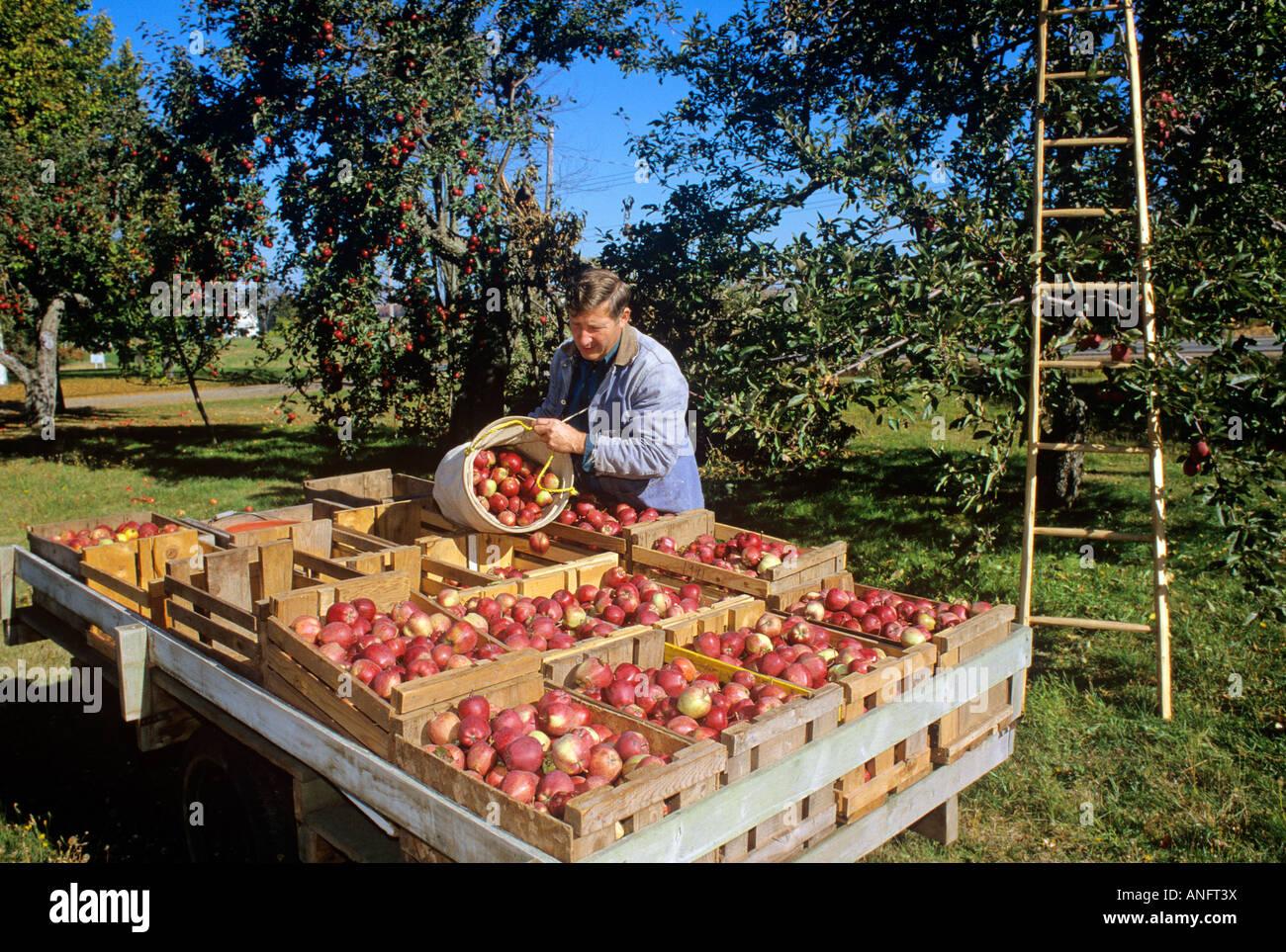 Agricoltore la raccolta di mele in autunno a Canning, Nova Scotia, Canada. Immagini Stock