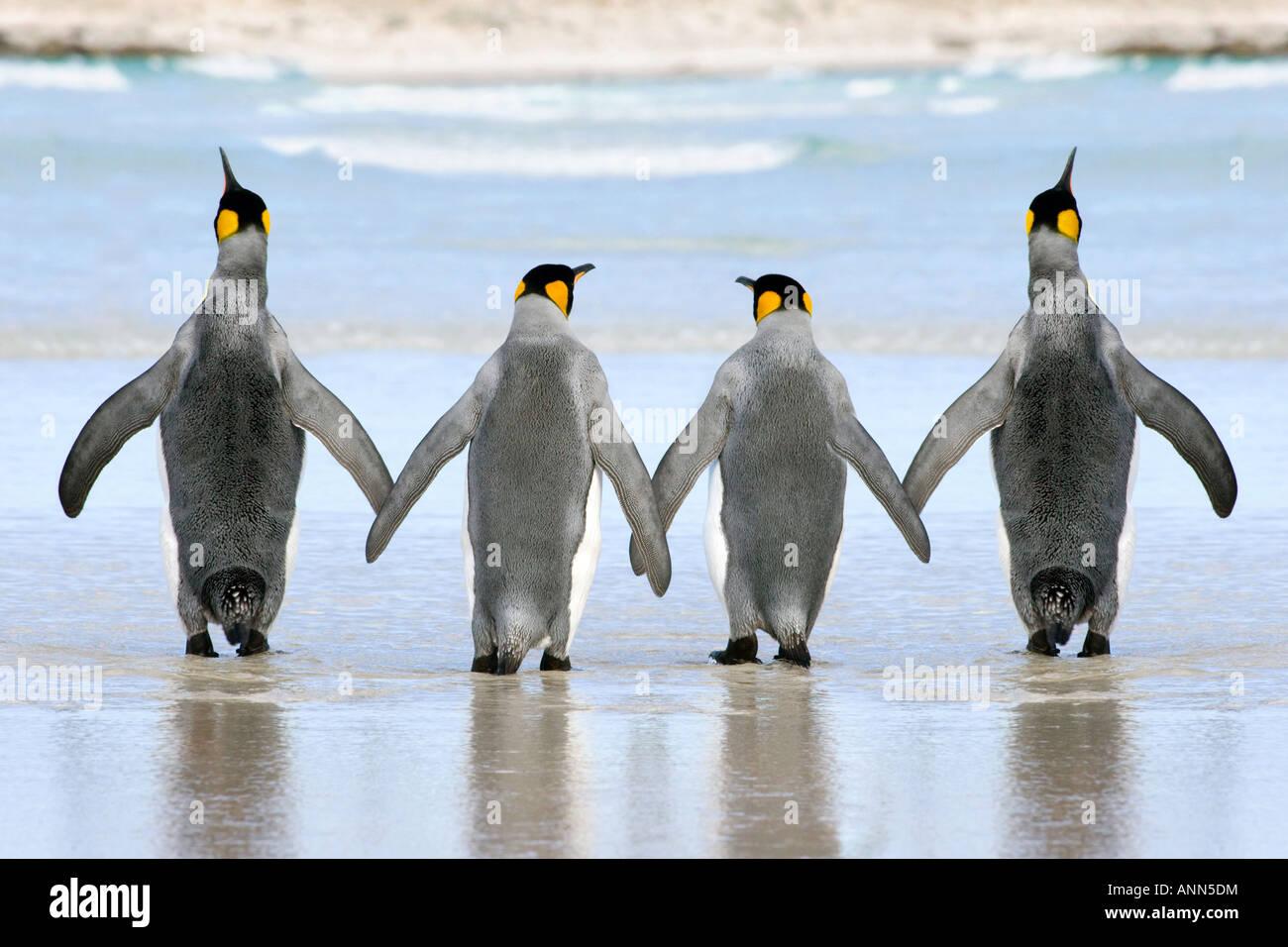 Un gruppo di 4 Re Penguin attraversando le sabbie mano nella mano Immagini Stock