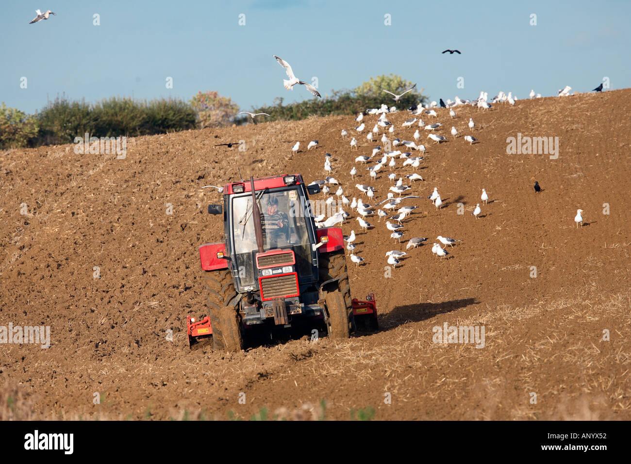 I gabbiani seguire il trattore straziante un campo in Oxfordshire Costwolds Regno Unito Immagini Stock