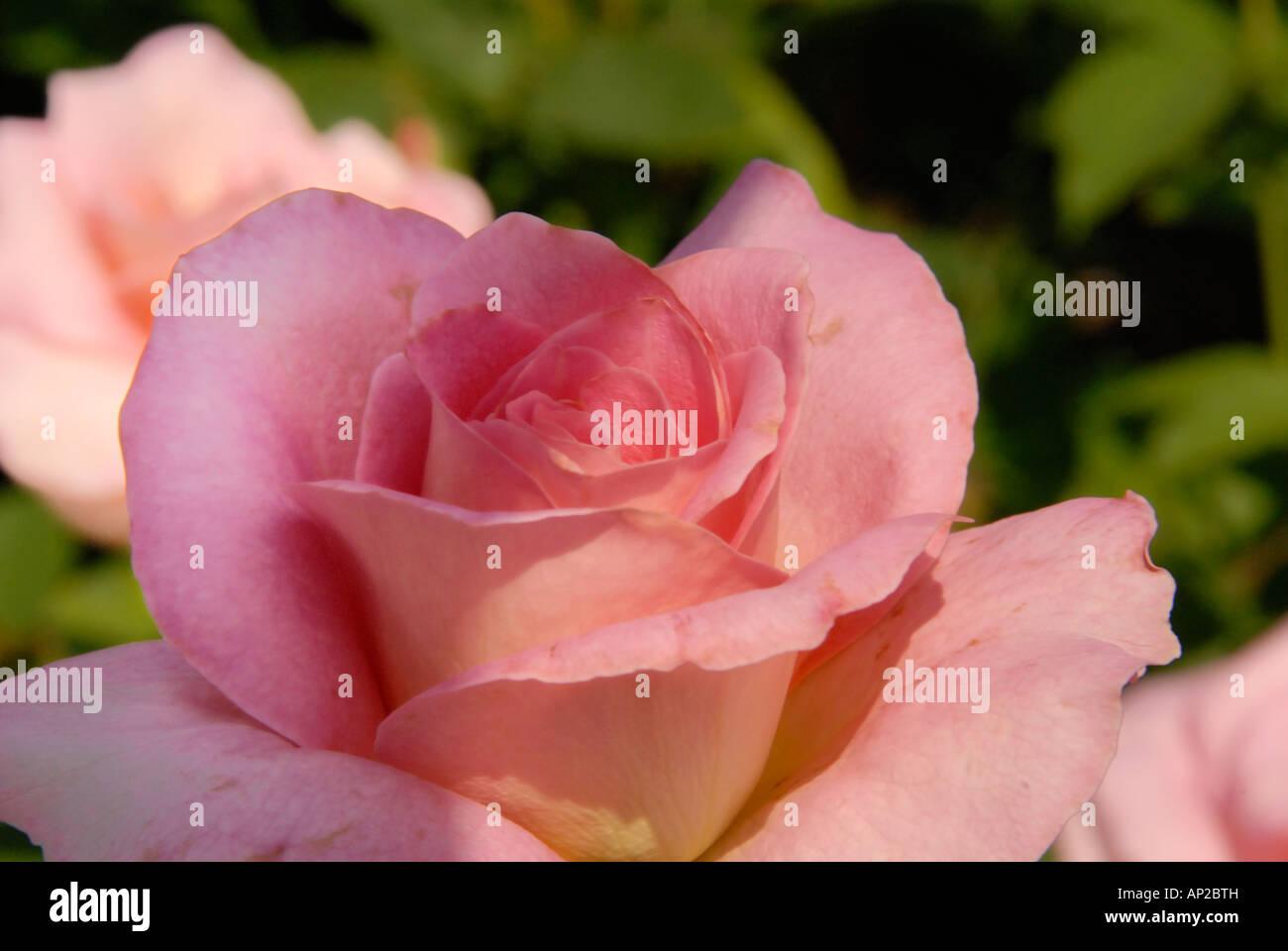 Tiffany Rose Rosa Fiore Rosa Foto Immagine Stock 15652624 Alamy