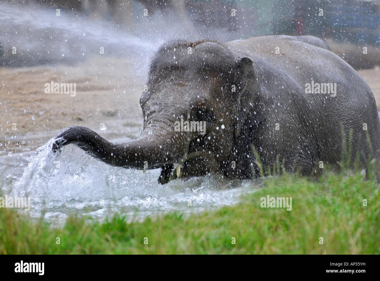 Elephant di balneazione in acqua in zoo di Monaco, Tierpark Hellabrunn, Baviera, Germania Immagini Stock