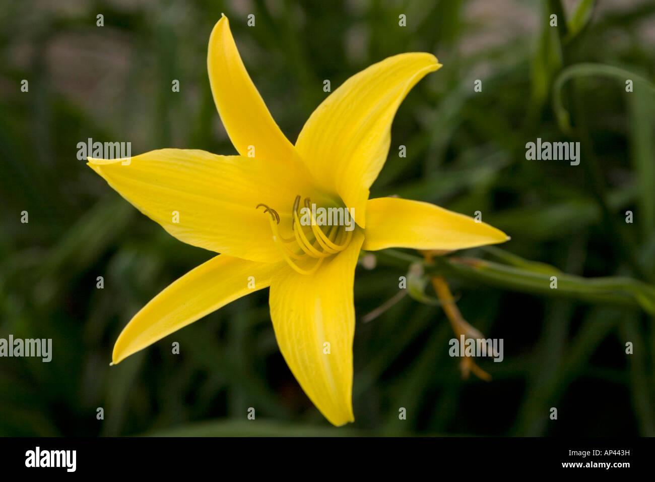 Fiore Giallo 6 Petali.Sei Petali Immagini Sei Petali Fotos Stock Alamy